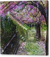 Cherry Blossom Walk Acrylic Print