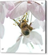 Cherry Blossom With Bee Acrylic Print