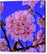Cherry Blossoms 004 Acrylic Print