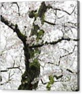 Cherry Blossoms 119 Acrylic Print