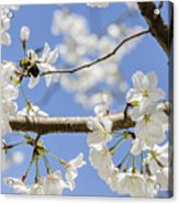 Cherry Blossoms And Bumblebee Acrylic Print