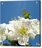 Cherry Blossoms Art White Spring Tree Blossom Baslee Troutman Acrylic Print