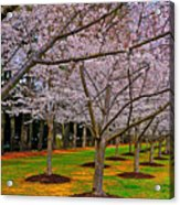 Cherry Blossoms At The Beach Acrylic Print