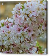 Cherry Blossoms Browns Island 7124t Acrylic Print