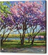 Cherry Blossoms, Central Park Acrylic Print