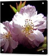 Cherry Blossoms Acrylic Print by Debra     Vatalaro