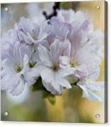 Cherry Blossoms Acrylic Print by Frank Tschakert