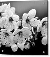 Cherry Blossoms II Acrylic Print by Rod Sterling