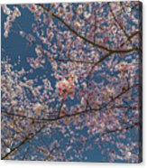Cherry Blossoms In Bloom Acrylic Print