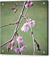 Cherry Blossoms In Early Spring Acrylic Print