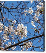 Cherry Blossoms In Hiroshima Acrylic Print