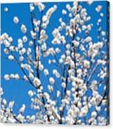 Cherry Blossoms In Julian California Acrylic Print