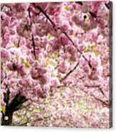 Cherry Blossoms In Milan Italy Acrylic Print