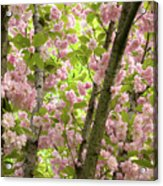 Cherry Blossoms In Spring, Milan, Italy Acrylic Print