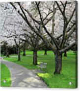 Cherry Blossoms In Stanley Park Vancouver Acrylic Print by Pierre Leclerc Photography