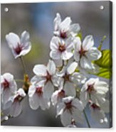 Cherry Blossoms In The Morning Acrylic Print