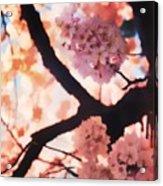 Cherry Blossoms In Washington D.c. Acrylic Print