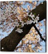 Cherry Blossoms Acrylic Print by Megan Cohen
