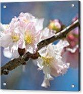 Cherry Blossoms On Blue Acrylic Print
