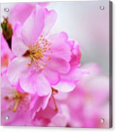 Cherry Blossoms Sweet Pink Acrylic Print