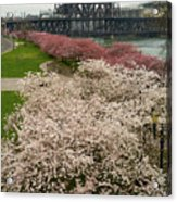 Cherry Blossoms Trees Along Portland Waterfront Acrylic Print