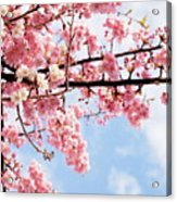 Cherry Blossoms Under Blue Sky Acrylic Print by Neconote