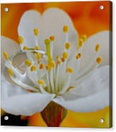 Cherry Flower In The Spring Acrylic Print