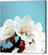Apricot Flowers IIi Acrylic Print