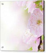 Cherry Flowers In Garden Acrylic Print