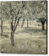 Cherry Orchard In Infrared Acrylic Print