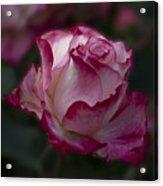 Cherry Parfait Rose Acrylic Print
