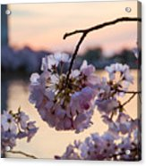 Cherry Pedals Acrylic Print