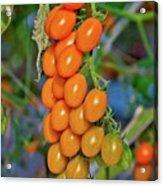 Cherry Tomatoes Acrylic Print