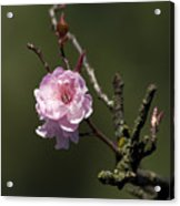 Cherry Tree Bloosom Acrylic Print
