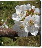 Cherry Tree Blossom White Flower Acrylic Print