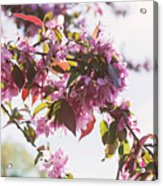 Cherry Tree Flowers Acrylic Print