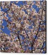 Cherry Tree In Bloom Acrylic Print