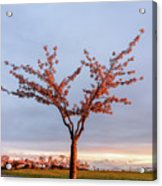 Cherry Tree Standing Alone In A Park, Lit By The Light  Acrylic Print