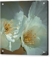 Cherryblossom Flowers Acrylic Print