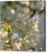 Cherryblossom In Focus Acrylic Print