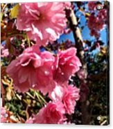 Cherryblossoms Perspective  Acrylic Print