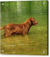 Chesapeake Bay Retriever Acrylic Print