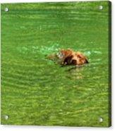 Chesapeake Bay Retriever Swimming Acrylic Print