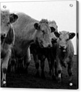 Cheshire Cattle Acrylic Print