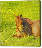 Chess Nut Horse Acrylic Print