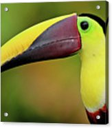 Chestnut Mandibled Toucan Acrylic Print by Photography by Jean-Luc Baron