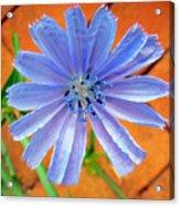 Chic Chic Chicory Acrylic Print