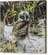 Chick Burrowing Owl  Acrylic Print