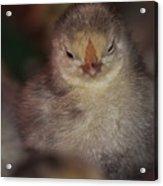 Chick Acrylic Print