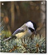 Chickadee-10 Acrylic Print